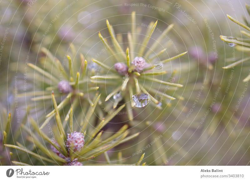 Nadelbaum mit Regentropfen Baum Tannennadel Nahaufnahme Detailaufnahme Makroaufnahme Außenaufnahme Nadelbäumchen Natur grün