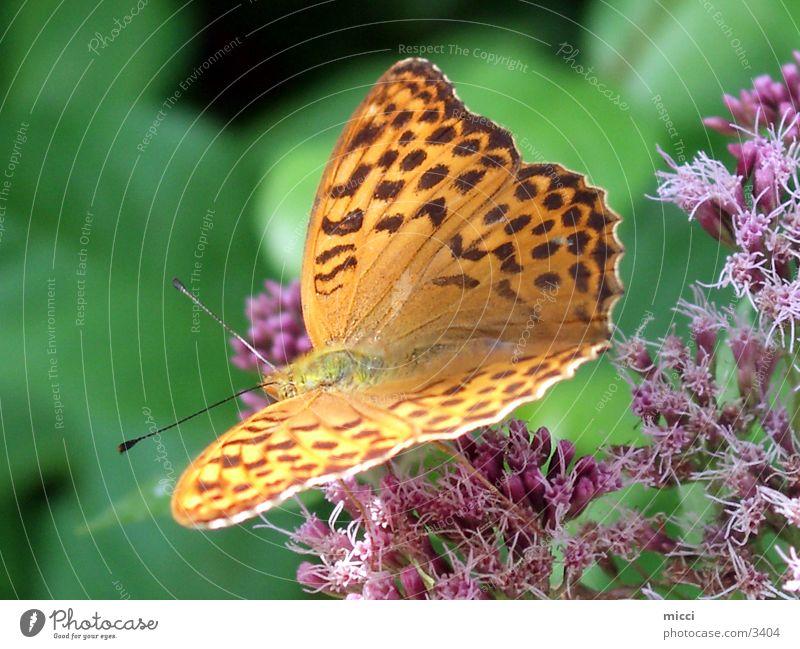 Schmetterling gelb Insekt Verkehr gelber Schmetterling Flügel Natur Pflanze