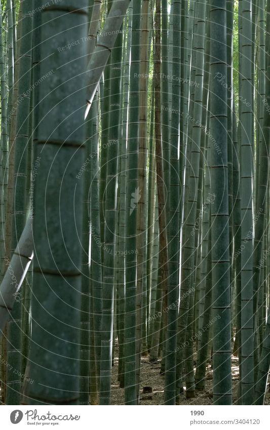 Bambuswald Bambusrohr Japan Reisefotografie grün Pflanze Natur Asien Wald Außenaufnahme exotisch Schatten
