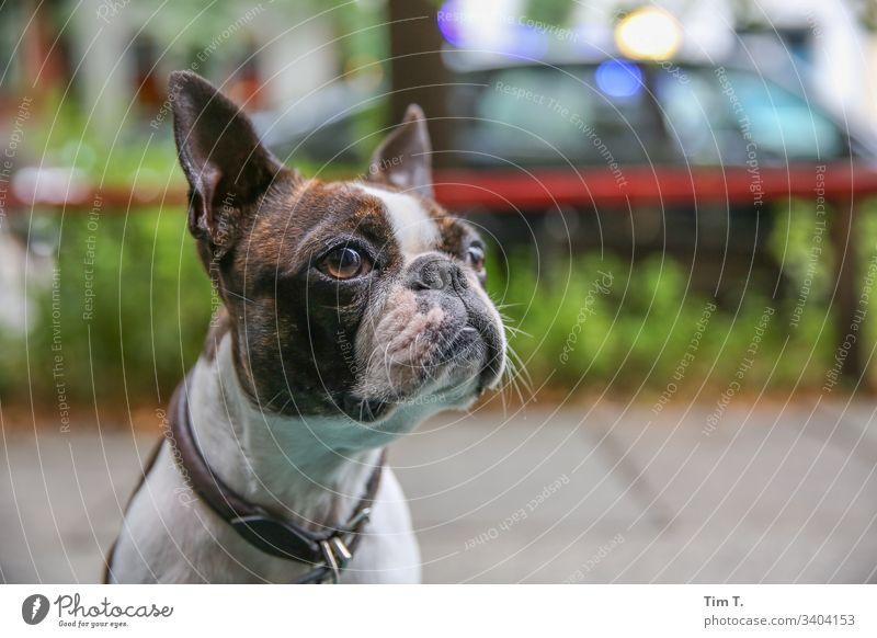 Stadthund Hund Haustier Tier kleiner Hund Farbfoto Außenaufnahme Menschenleer Blick braun Tag Tierporträt Blick nach vorn Tiergesicht Schwache Tiefenschärfe