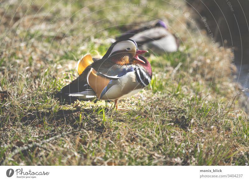 Mandarin Enten Erpel auf Wiese Entenvögel Natur Tier Menschenleer Vogel Farbfoto Sommer Mandarinente Außenaufnahme Wildtier niedlich Tierwelt Barbary-Ente