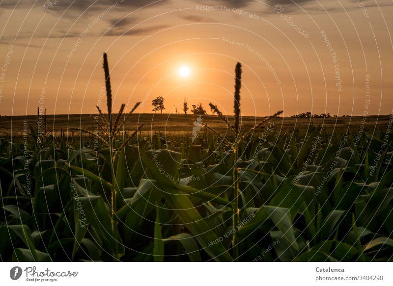 Die Sonne geht unter, im Vordergrund steht ein Maisfeld Dämmerung Sonnenlicht Abendrot Sonnenuntergang Himmel Abenddämmerung orange Horizont Landschaft Sommer