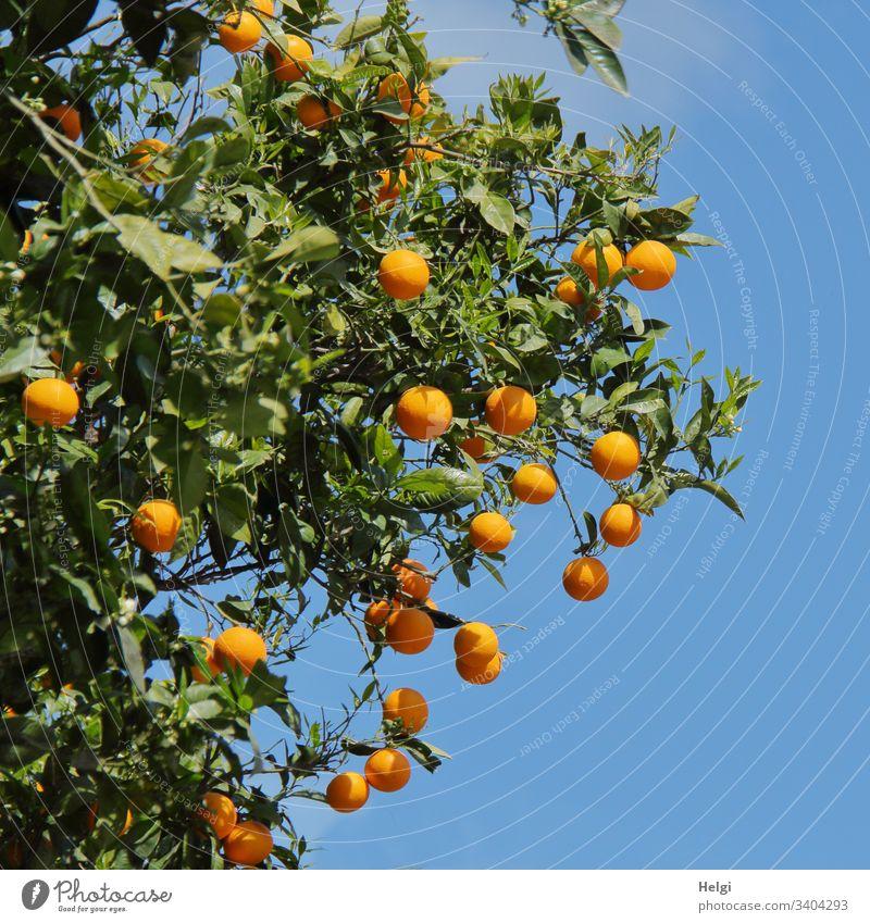 Orangenbaum mit reifen Orangen vor blauem Himmel Baum Zweig Frucht Außenaufnahme Farbfoto Natur Umwelt mediterran Sonnenlicht schönes Wetter Blatt menschenleer