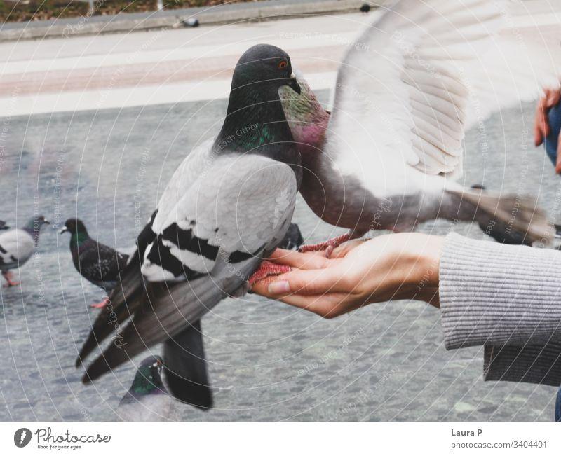 Nahaufnahme von zwei Tauben an der Hand einer Frau abschließen Vögel Farbfoto Tier Finger Tierporträt Federn Flügel Sitzen Schnabel Auge füttern Lebensmittel