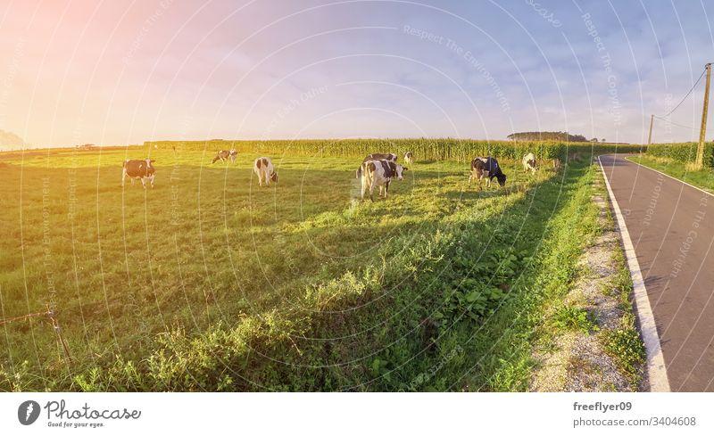 Grasfeld mit Kühen und einer Straße in der Nähe Zucht Ackerbau Herde Kuh schwarz Lebensmittel Frau weiden Dorf Bauernhof malerisch Familie Weidenutzung ländlich
