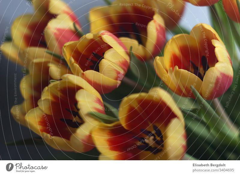 Tulpenstrauß tulpen frühling Blumenstrauß Blüte