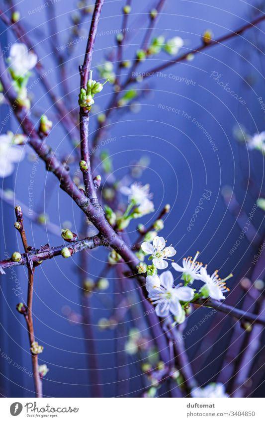 Lila. Zweig mit Blütenknospen, Apfelzweig, Kirschzweig Ast Apfelblüte Natur Knospe austreiben blühen Frühling Pflanze Blume Garten Nahaufnahme Wachstum Blühend