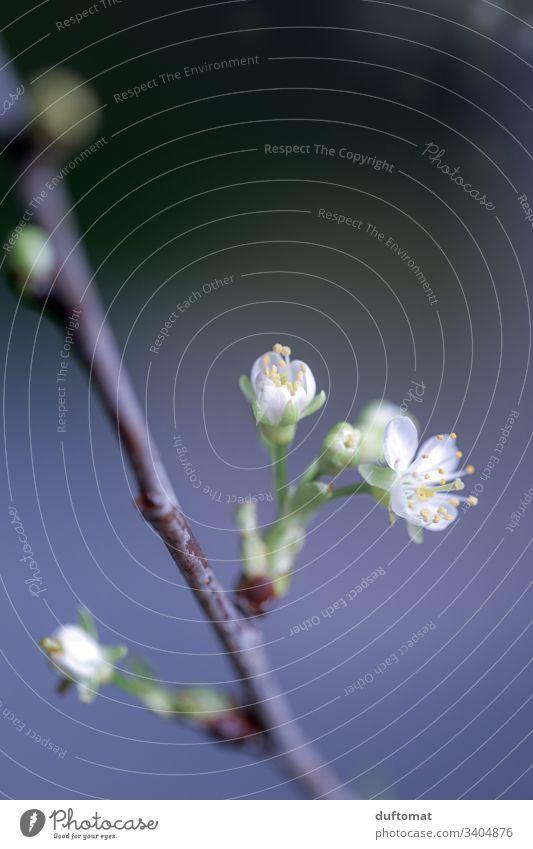 Zweig mit Blütenknospen, Apfelzweig, Kirschzweig Ast Apfelblüte Natur Knospe austreiben blühen Frühling Pflanze Blume Garten Nahaufnahme Wachstum Blühend Baum