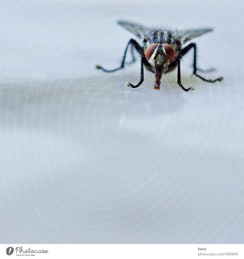 Herr der Fliegen blau Wasser Sommer Tier schwarz kalt Auge grau klein Beine braun fliegen sitzen Glas Fliege Flügel