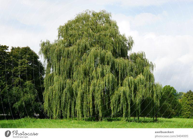 Trauerweide Weide Baum salix babylonica Park Sommer grün Landschaft Natur Pflanze Garten groß Flora Laubbaum Botanik