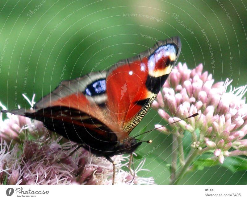 Schmetterling Natur Blume Pflanze Verkehr Flügel Tagpfauenauge