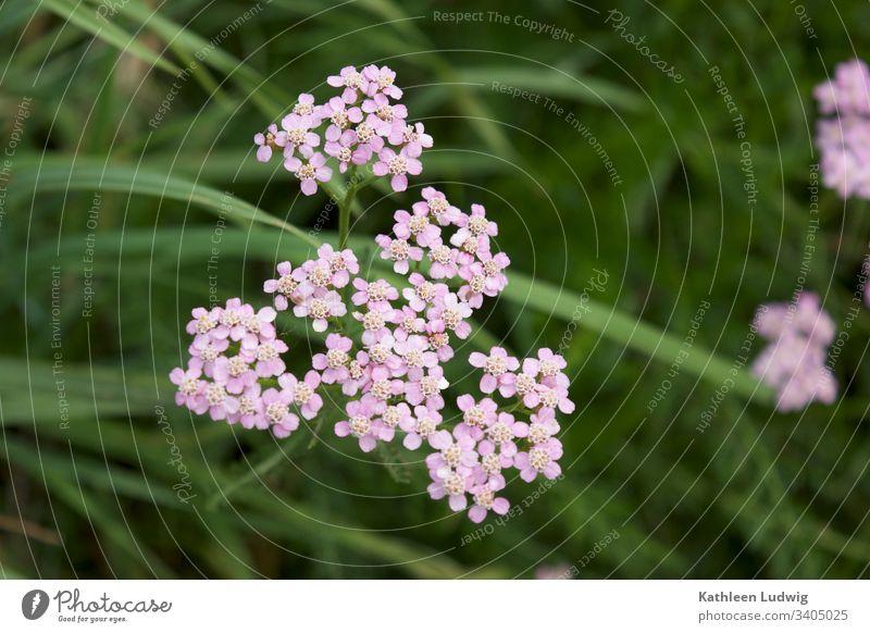 Schafgarbe am Wegesrand Heilkräuter Heilpflanzen Wiesenblumen Blumen Pflanzen
