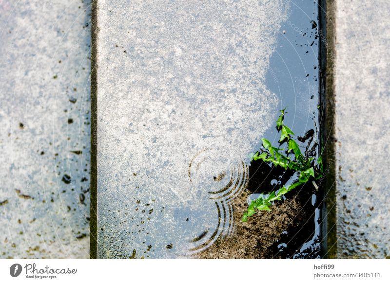 Löwenzahn in einer Lücke zwischen nassen Treppen Park Regen Sonntag Löwenzahnpflanze grün nasses Grün Nassreflexion Reflexion & Spiegelung Pflanze Natur Wasser