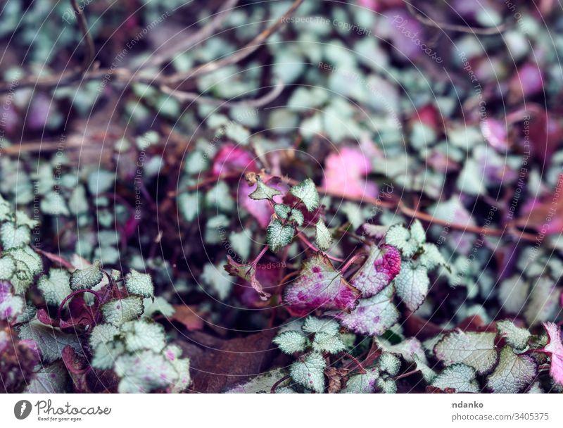 wachsende Pflanze Lamium maculatum gefleckt oder Taubnessel Blütenblatt Makulatum botanisch Fleckige Taubnessel Wildblume Boden wild Botanik Lamiaceae natürlich