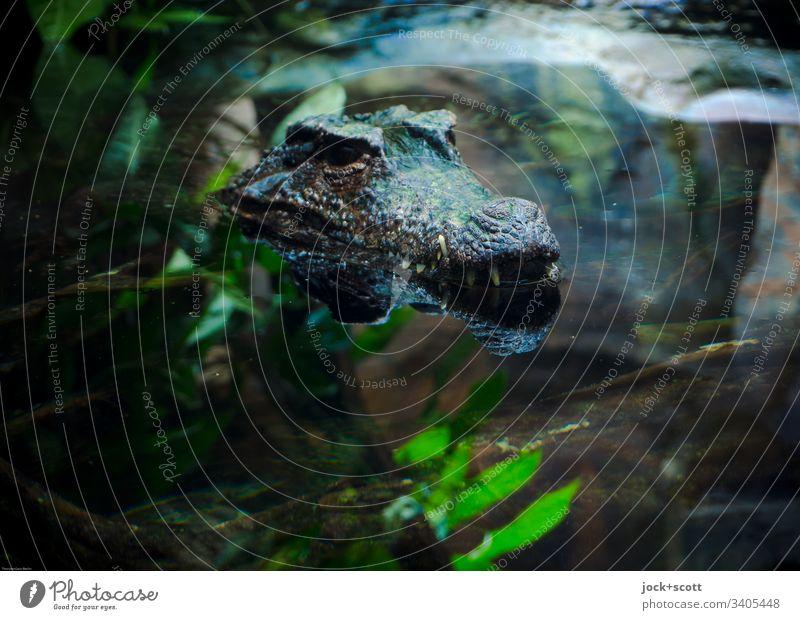 Krokodil schaut aus dem Wasser Tierporträt Kunstlicht Lebensraum exotisch Aquarium Reflexion & Spiegelung gefährlich verdeckt Wasseroberfläche Fauna tropisch
