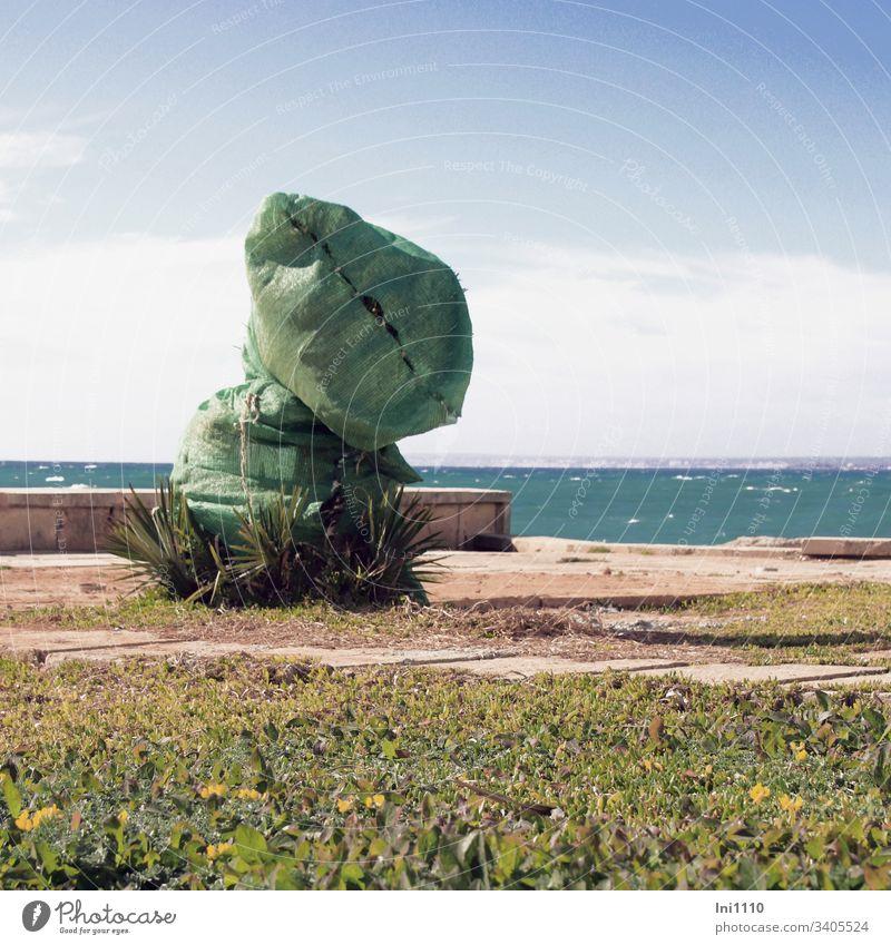 grün verhüllte Palme mit Meeresblick Winterschutz meditane Pflanzen Mittelmeer Mallorca Frühling grüne Sack grüner Beutel Terrasse menschenleer schönes Wetter