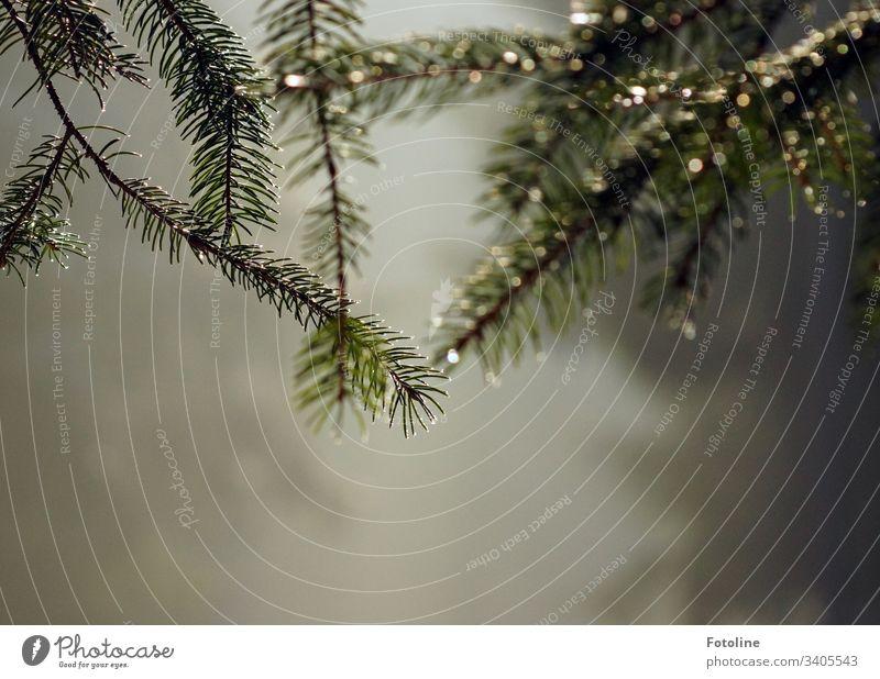 Viele kleine leuchtende Regentropfen auf den Zweigen eines Nadelbaums Außenaufnahme Natur Tropfen Pflanze grün Wasser frisch Tannennadeln Winter hell glänzend