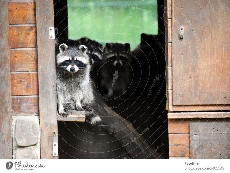 Quarantäne - oder eine Gruppe kleiner süßer Waschbären, die ihr Häuschen einfach nicht verlassen möchten Säugetier Tier Fell Pfote Schwanz Ohr niedlich weiß