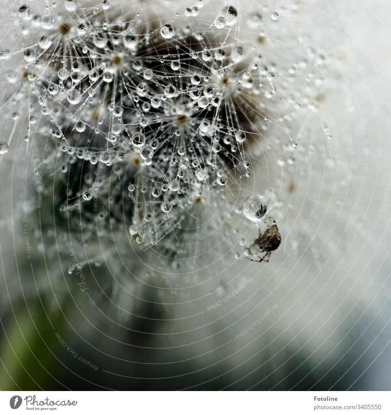 Pusteblume die voll mit Tautropfen ist, an der eine kleine Kreuzspinne ihr Netz baut. Pflanze Natur Löwenzahn Blume Farbfoto Außenaufnahme Makroaufnahme