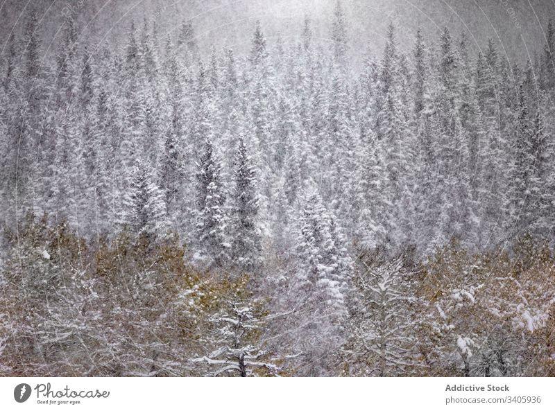 Winterlandschaft mit verschneiten Wäldern Wald Schneefall Landschaft ruhig Baum Natur Saison nadelhaltig Fichte kalt Kiefer Kanada Pflanze wild Immergrün