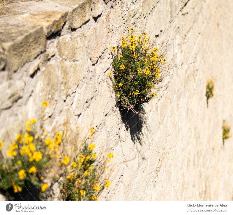 gelbe Blumen (Steinkraut) an einer Mauer Steinwand Natursteinfassade Blüten grün Pflanze blühen blühend schön Farbfoto Wachstum Fröhlichkeit
