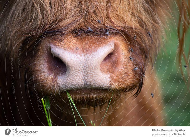 Galloway Rind Nase und Maul Kuh Tier Landwirtschaft Nutztier Fell Mücken Fliegen Hausrind Blick in die Kamera Tierporträt Natur braun rosa gewellt Farbfoto