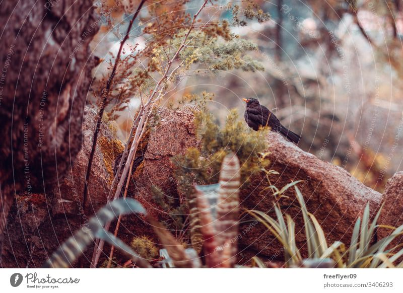 Gemeine Amsel (Turdus Merula) in einer Naturlandschaft Tierwelt Vogel allgemein schwarz Wald Steine Blätter braun horizontal Fauna Drossel Tiere Biologie Federn