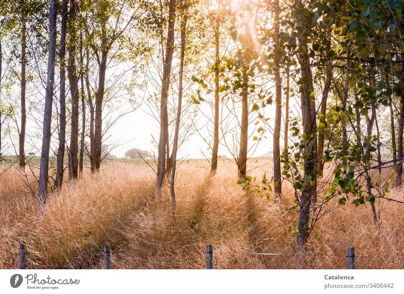 Sonnenlicht durchflutetet einen Pappelwald, das hohe Gras leuchtet. Bäume Himmel Wald Umwelt Landschaft Pflanze natürlich grün Natur Blätter Zaun Horizont