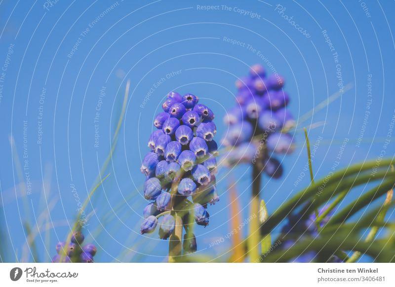 leuchtend blaue Perlhyazinthen gegen blauen Himmel Frühling Frühblüher Zwiebelblume Natur Blume Außenaufnahme Frühlingsblume Blüte Schwache Tiefenschärfe