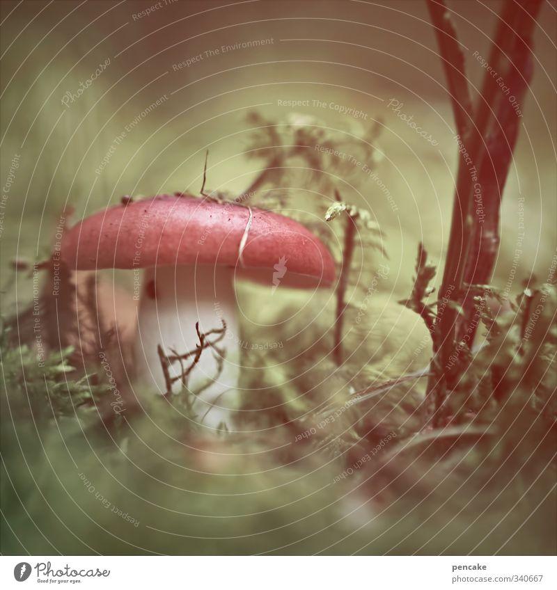 märchenstunde Natur Pflanze Urelemente Erde Sommer Wald bizarr Märchenwald Spielen Kindheitserinnerung Pilz verführerisch Phantasie Zwerg Pilzhut rot Traumwelt