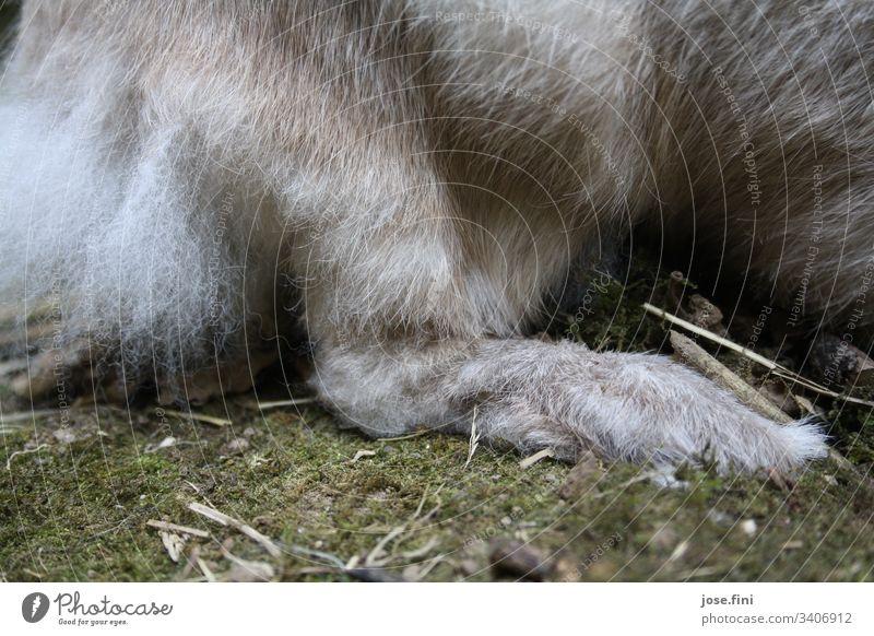 Klopfer/ Pfote eines Hasen Hase & Kaninchen Tier braun grau weich kuschlig Flaum mümmelmann niedlich Osterhase Frühlingsgefühle Tierliebe Fell Haustier Nutztier