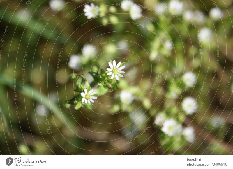 kleine weiße Blüten / Kraut Natur Pflanze kraut Blütenpflanze Blütenblätter Detailaufnahme grün Blume natürlich Garten Frühling Außenaufnahme Sonnenlicht hell