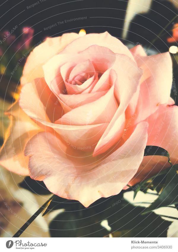 Nicht um sonst die Queen genannt. Blühend Blüte rosa Blume Blütenblätter