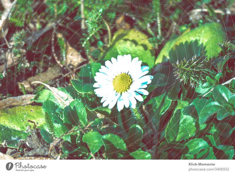 Kleiner Frühlingsbote den ich fast übersehen hätte, aber eben zum Glück nur fast. Blume Natur Nahaufnahme Außenaufnahme Pflanze Blüte