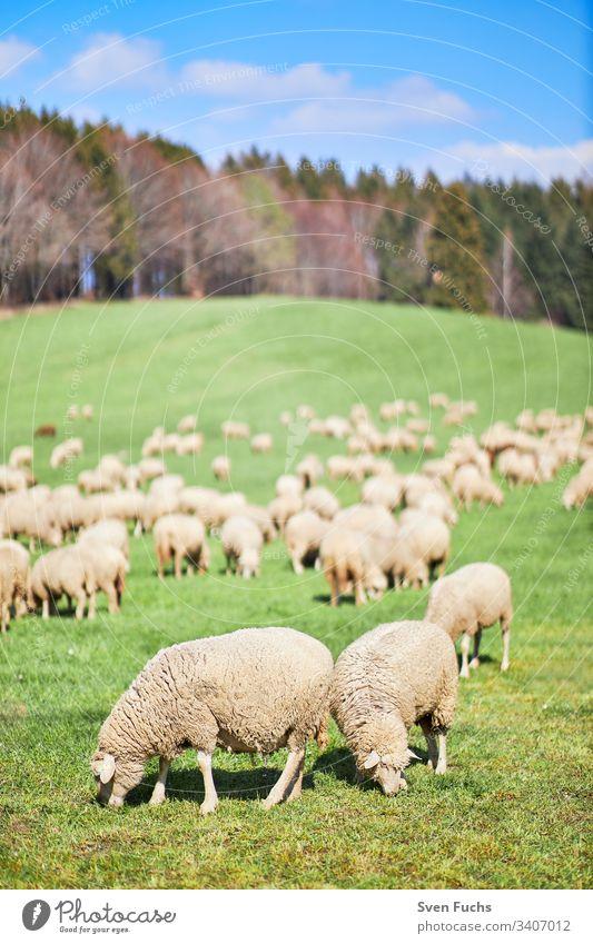Schafherde im Frühling auf einer Weide im Bodenseekreis Schafe Schafzucht wandernde Schafe Lämmer Natur Gras Feld grün Wiese Landwirtschaft Bauernhof Tier