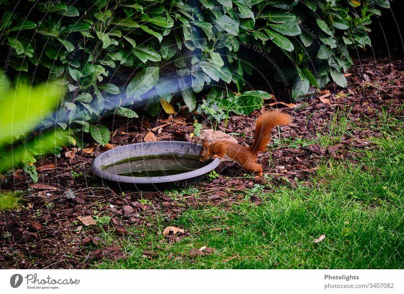 Rotes Eichhörnchen an Wassertränke Natur Tier Park Wildtier Nagetiere 1 sitzen natürlich Farbfoto Außenaufnahme Wald Sträucher Gras Pflanze Umwelt niedlich