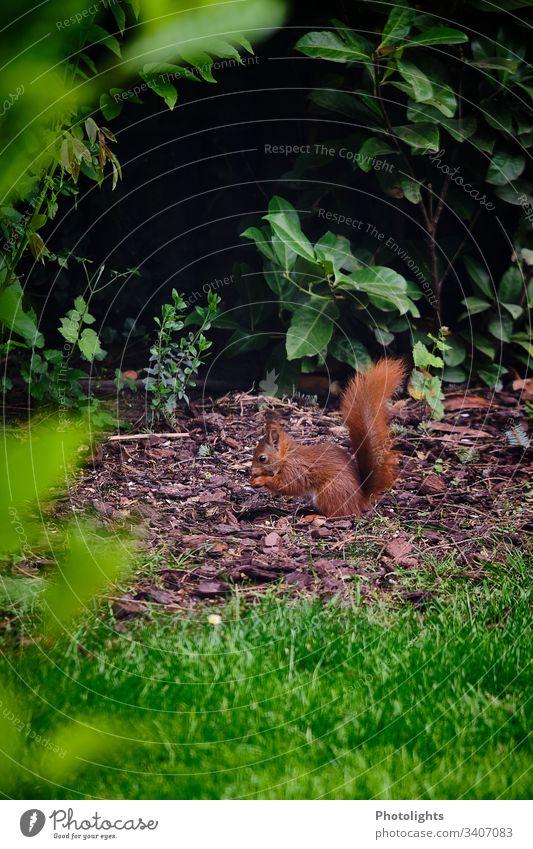 Rotes Eichhörnchen Natur Tier Park Wildtier Nagetiere 1 sitzen natürlich Farbfoto Außenaufnahme Wald Sträucher Gras Pflanze Umwelt niedlich Tierporträt klein