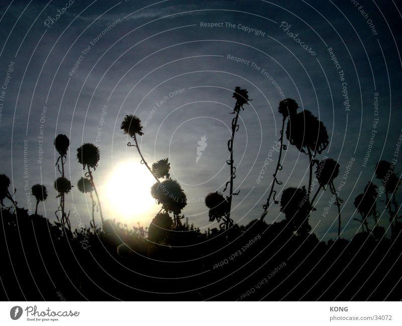 geisterblumen Blume Herbst Wiese getrocknet Sonne Himmel hell silouette