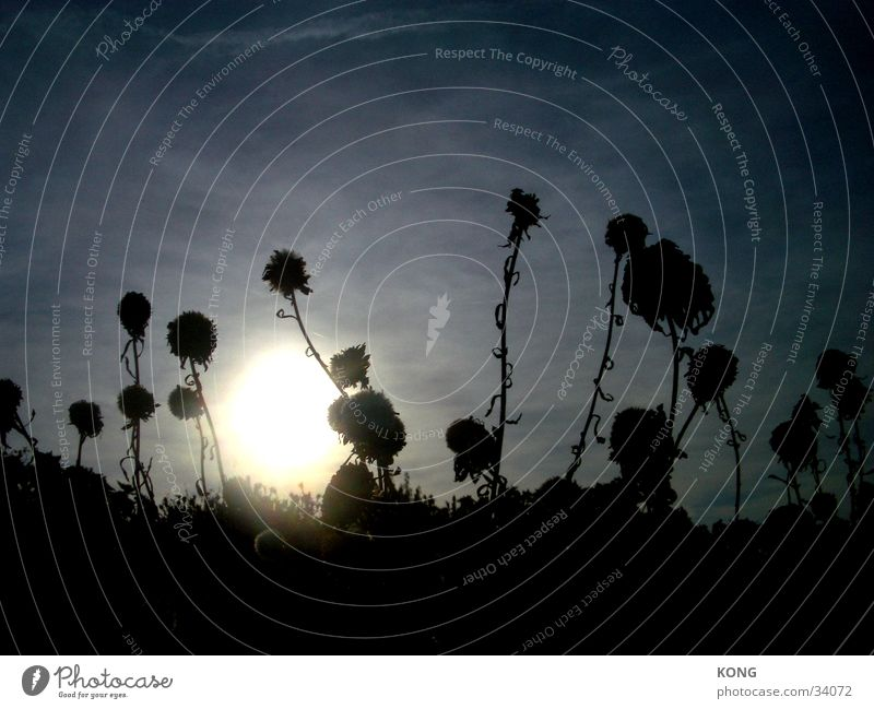 geisterblumen Himmel Sonne Blume Herbst Wiese hell getrocknet