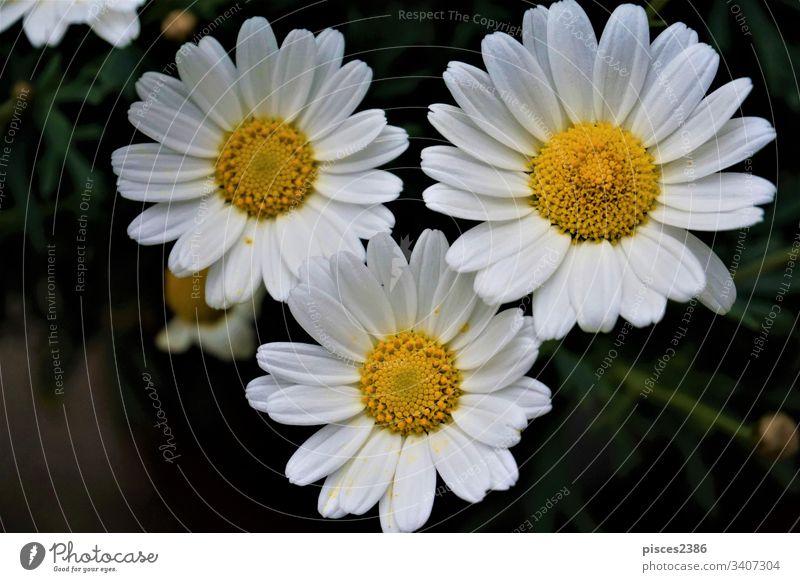 Nahaufnahme von drei Leucanthemum vulgaris-Blüten abstrakt leucanthemum viele Kamille Blume Natur Tapete hübsch grün natürlich im Freien vulgare
