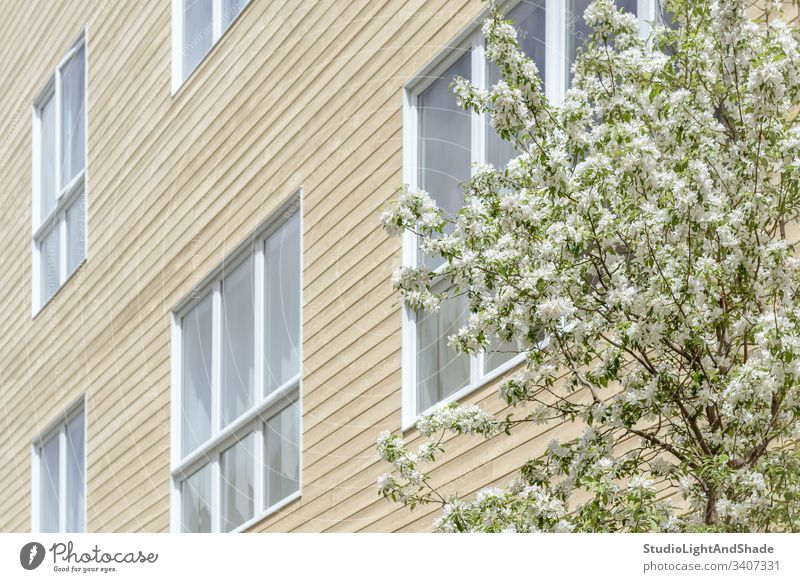 Fenster eines modernen Gebäudes und blühender Baum Haus Fassade Bäume Blüte Frühling Ast Niederlassungen Blühend Blütezeit Überstrahlung Blumen Kirschbaum