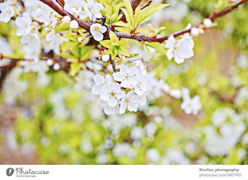 Zweig der blühenden Kirsche auf natürlichem grünen Hintergrund, künstlerisches Bokeh Blüte Ast Frühling Ostern Blume Strahl schön Schönheit Blütezeit