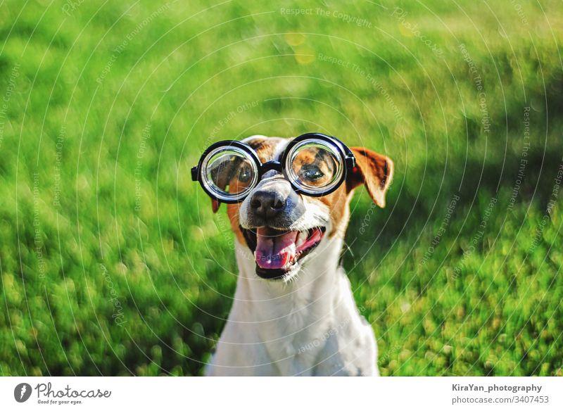 Porträt eines Hundes mit runder Lesebrille. Lustiges Hundegesicht auf grünem Grashintergrund Jack-Russell-Terrier im Freien spielerisch stark niedlich
