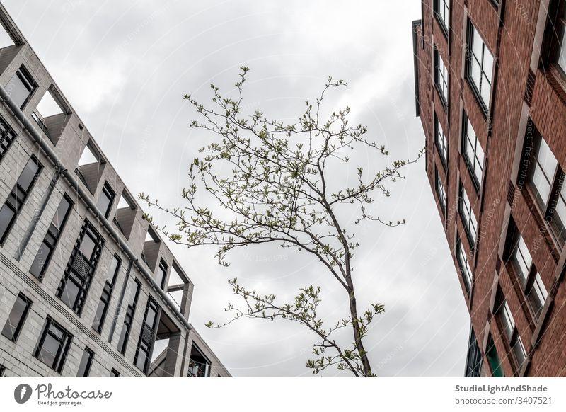 Junger Baum, der zwischen steinernen Stadtgebäuden wächst Architektur architektonisch alt Gebäude Straße Montreal Quebec Kanada vieux Montreal Fenster Stein