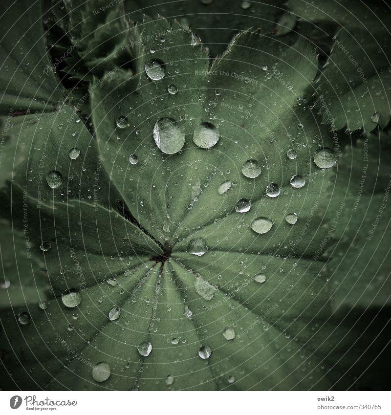 Mai 2013 Umwelt Natur Pflanze Wassertropfen Klima Wetter Regen Blatt frisch Gesundheit glänzend klein nah nass natürlich viele grün perlen Frauenmantel