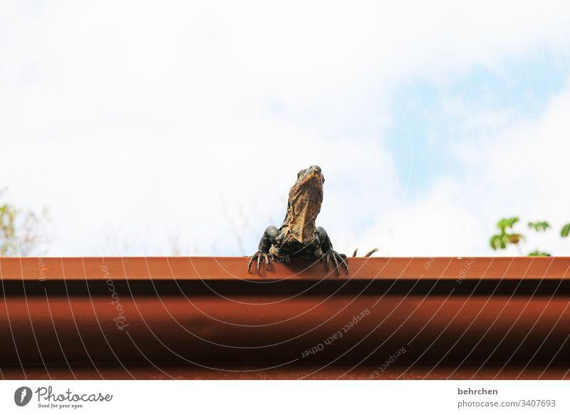gute aussichten | leguan in der dachrinne frech Fernweh außergewöhnlich exotisch fantastisch Tierporträt Wildtier Sonnenlicht Tag Ferne Freiheit Tourismus