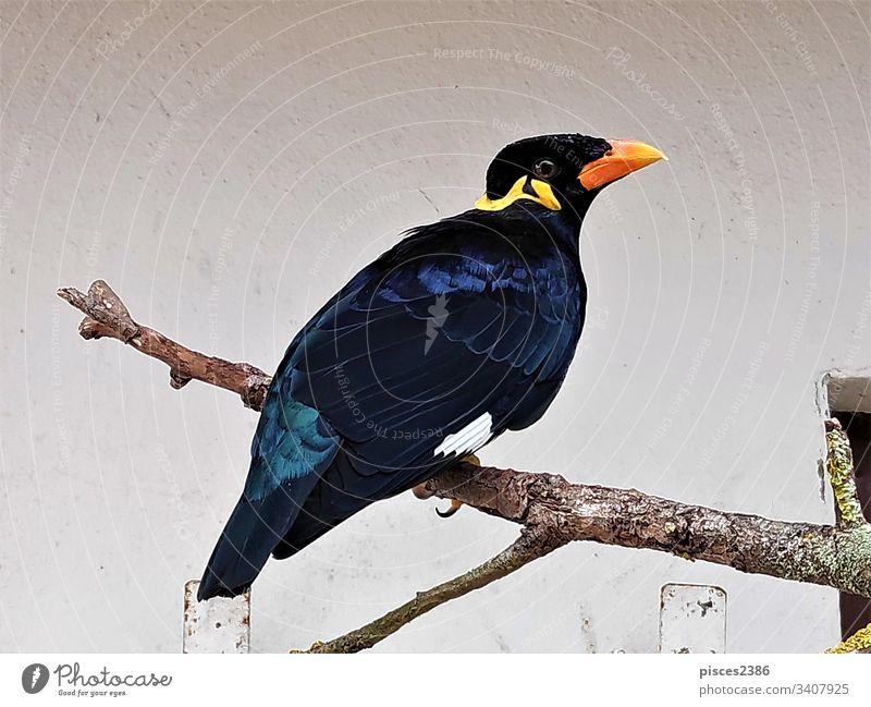 Gewöhnliche Bergmaina, die auf einem Ast vor der Mauer sitzt Flügel Vogel wild Tierwelt allgemein Hügel myna Fauna Schnabel Natur Ausschnitt Weg Lebensraum