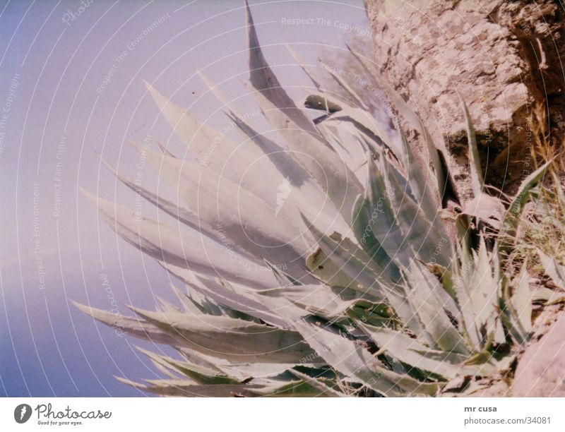 gomera Sonne Pflanze Farbe Stimmung Arme seltsam Kaktus vergilbt Gomera
