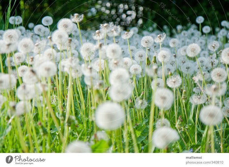 ganz viel puste nötig Natur grün weiß Pflanze Umwelt Wiese Blüte Garten Blühend Unendlichkeit Löwenzahn Gänseblümchen Samen Anhäufung Stempel verblüht
