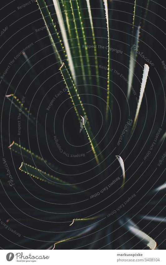 Kaktus kaktuspflanze Botanik Pflanze Wildpflanze grün gelb Schattenspiel sihouette